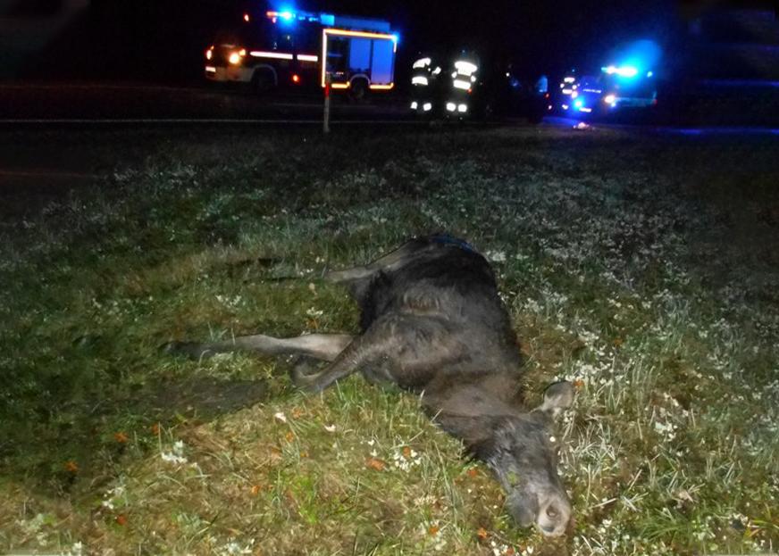 Сразу двух бегущих лосей сбил россиянин на BMW в Польше